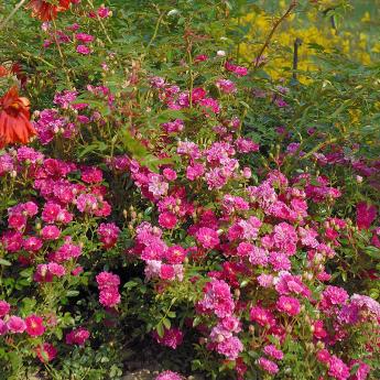 Vivaces les roses anciennes andre eve - Campanule a feuilles de pecher ...