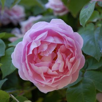 ROSIER ROSE BLUSH® evevic LOT DE 3 RN