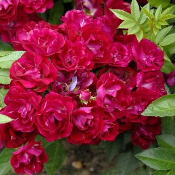 ROSIER BOUGAINVILLE RN