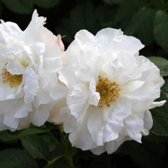 ROSIER LITTLE WHITE PET RN