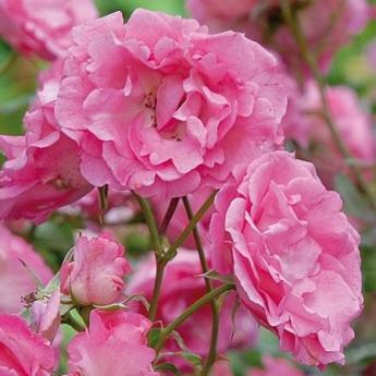ROSIER ROSE BLUSH® evevic RN  Présentation-Racine nue