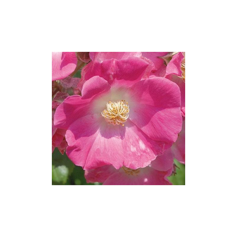 rosier aimee vibert conteneur les roses anciennes andre eve. Black Bedroom Furniture Sets. Home Design Ideas