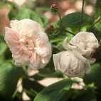 ROSIER APPLE BLOSSOM CONTENEUR