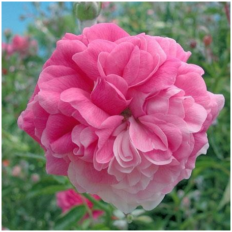 ROSIER BLUSH NOISETTE CONTENEUR