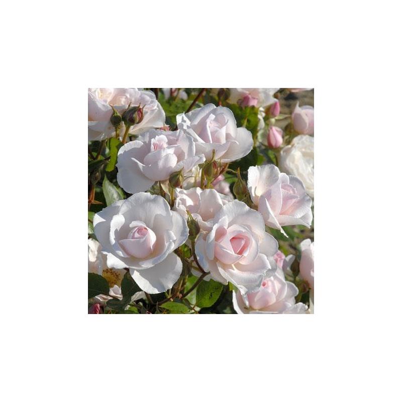 rosier guirlande d 39 amour conteneur les roses anciennes. Black Bedroom Furniture Sets. Home Design Ideas