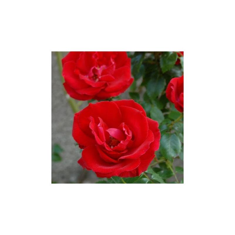 rosier la belle alsacienne evelsac conteneur les roses anciennes andre eve. Black Bedroom Furniture Sets. Home Design Ideas