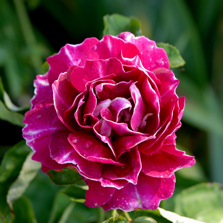 rosier princesse d 39 orient conteneur les roses anciennes