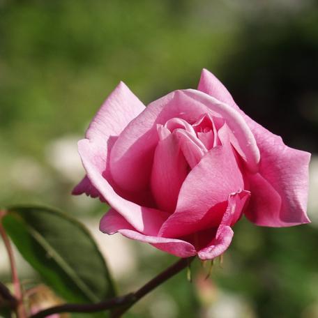 ROSIER Pleureur PINK GHISLAINE DE FELIGONDE®