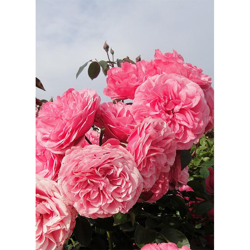 flower béarnaises - Page 10 ROSIER-FEE-DES-NEIGES-LOT-DE-5-RN