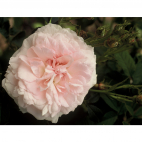 ROSIER MARIE BLANCHE PAILLE® evecinage RN