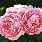 LOT 3 ROSIERS JUBILE IMPERIAL® Eveparo