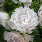 ROSIER Tige MARIE BLANCHE PAILLE® evecinage