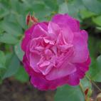ROSIER tige Andre eve le jardinier des roses® RN
