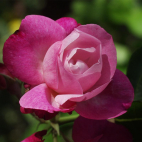 ROSIER Julie pietri ® evelijar C5L