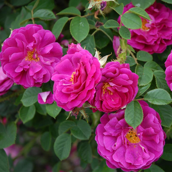ROSIER Lady of shalott® ausnyson RN