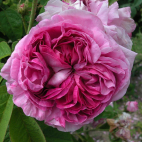 LOT 3 ROSIERS MARIE BLANCHE PAILLE® Evecinage RN