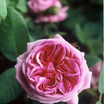 Lot 3 rosiers PIERRE HERME® Evecot RN