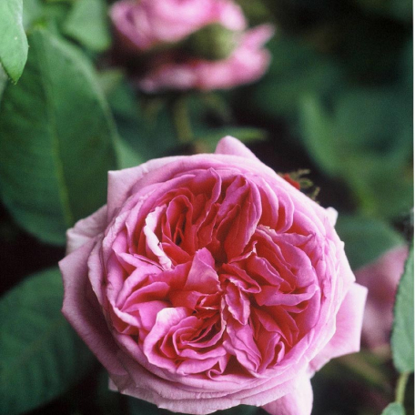 Lot 3 rosiers PIERRE HERME® Evecot RN