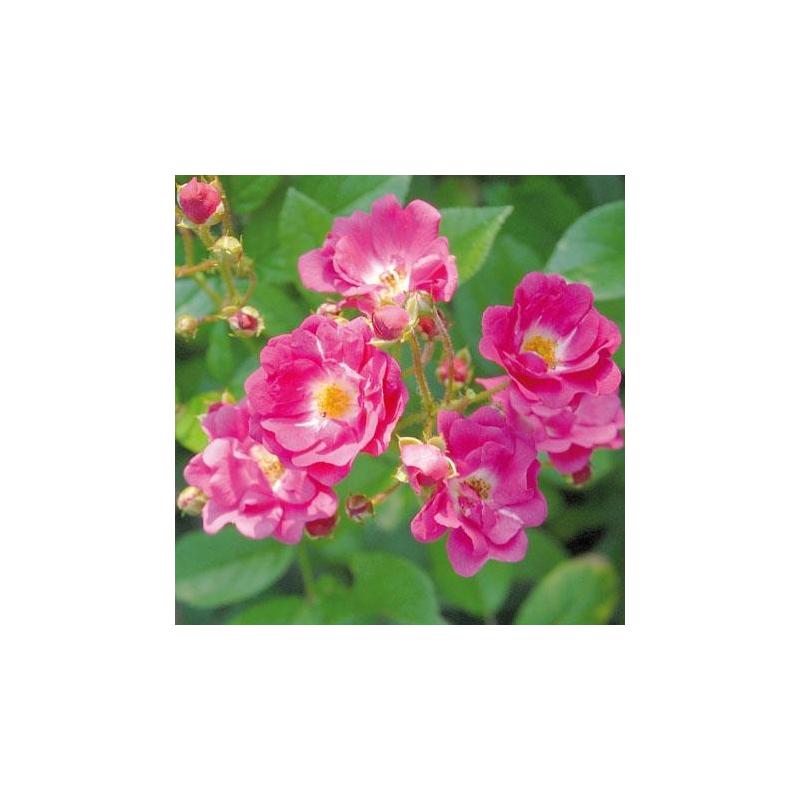rosier belle au bois dormant rn les roses anciennes andre eve. Black Bedroom Furniture Sets. Home Design Ideas