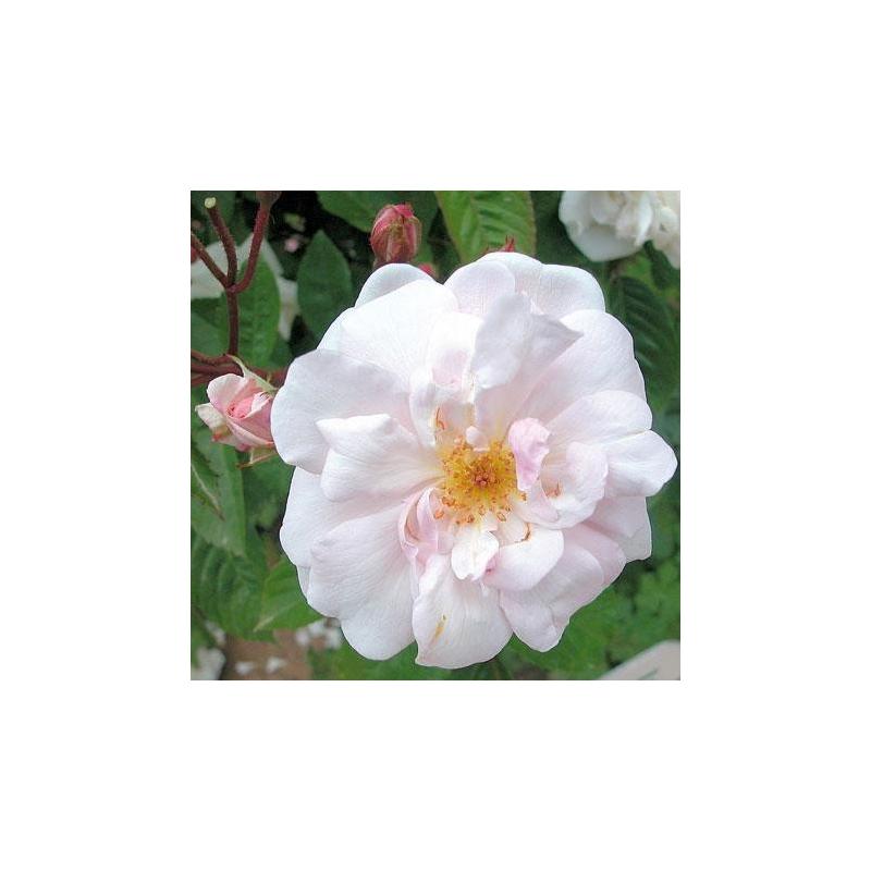 rosier belle isis rn les roses anciennes andre eve. Black Bedroom Furniture Sets. Home Design Ideas